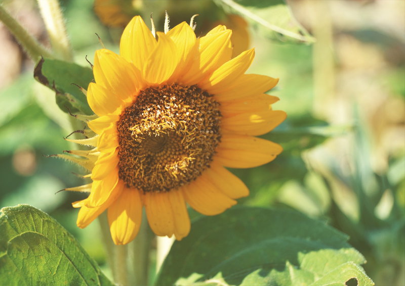 The Flying Clubhouse: August Gold | sunflower