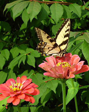 Eastern Tiger Swallowtail Butterfly on Zinnia by Toni Leland