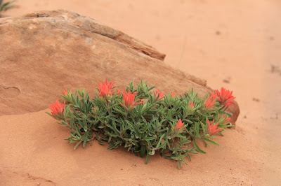 This specimum of Desert Paintbrush (Castilleja chromosa) was found on the Devil's Garden Trail in Arches National Park
