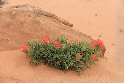 This specimum of Desert Paintbrush (Castilleja chromosa) was found on the Devil's Garden Trail in Arches National Park