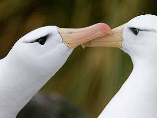 black browed albatross pair