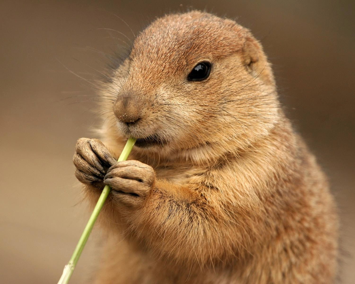What Animals Eat Prairie Dogs