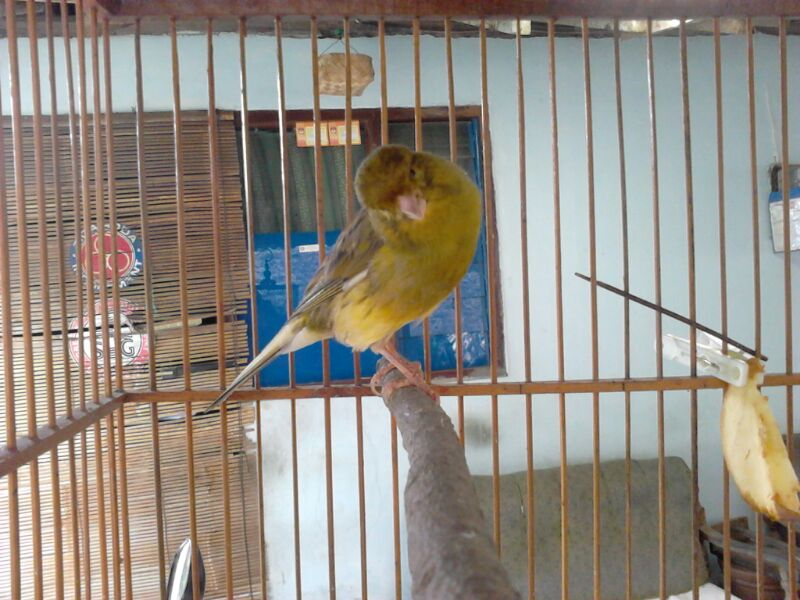 jual burung kenari kenari f ys dijual