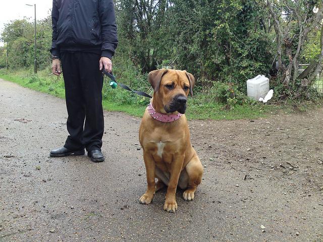 Dachshund Dog: Rottweiler X Bullmastiff