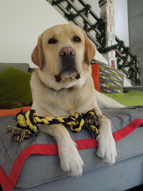 Labrador Cooper's rope toy
