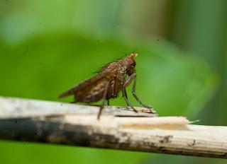 Scathophaga Sterocorsria - cuchna nawozowa