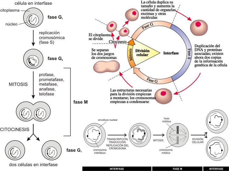 BIODIVERSOS LUZ 2015: Célula Eucariota