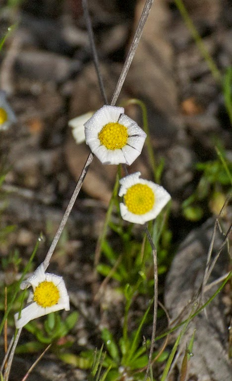 Asteraceae sp
