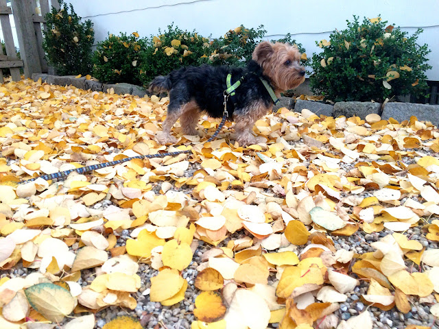 Priscilla-the-Yorkshire-Terrier-Autumn-Leaf-Litter-on-Long-Island