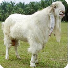 kambing jamnapari