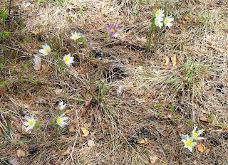 8.05. Весенние цветы из нашего леса