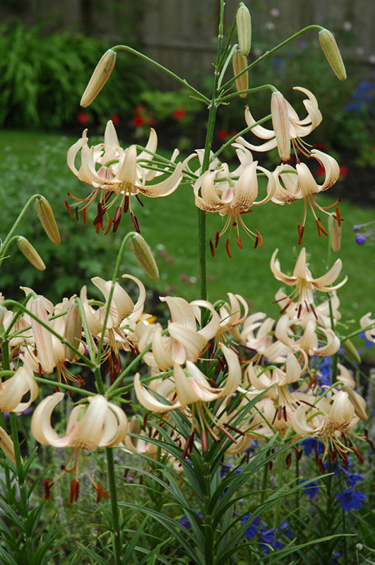 'White Princess' Lilium
