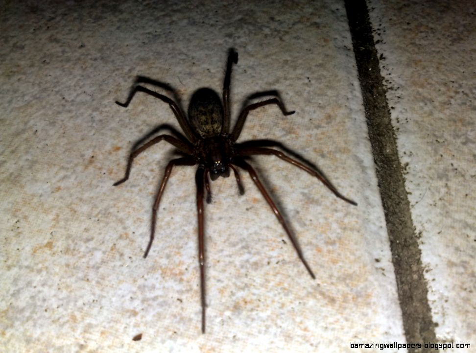 Palmetto Exterminators Charlotte NC  Common House Spiders