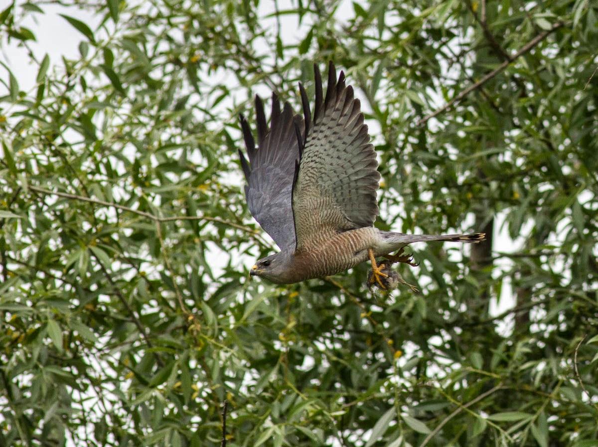 Levant Sparrowhawk with prey, copyright Iordan Hristov