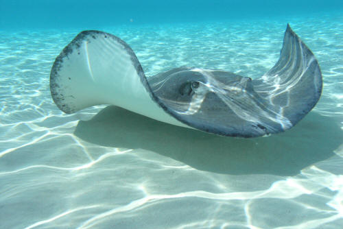 stingrays breed during the winter and the female stingray gives birth ...