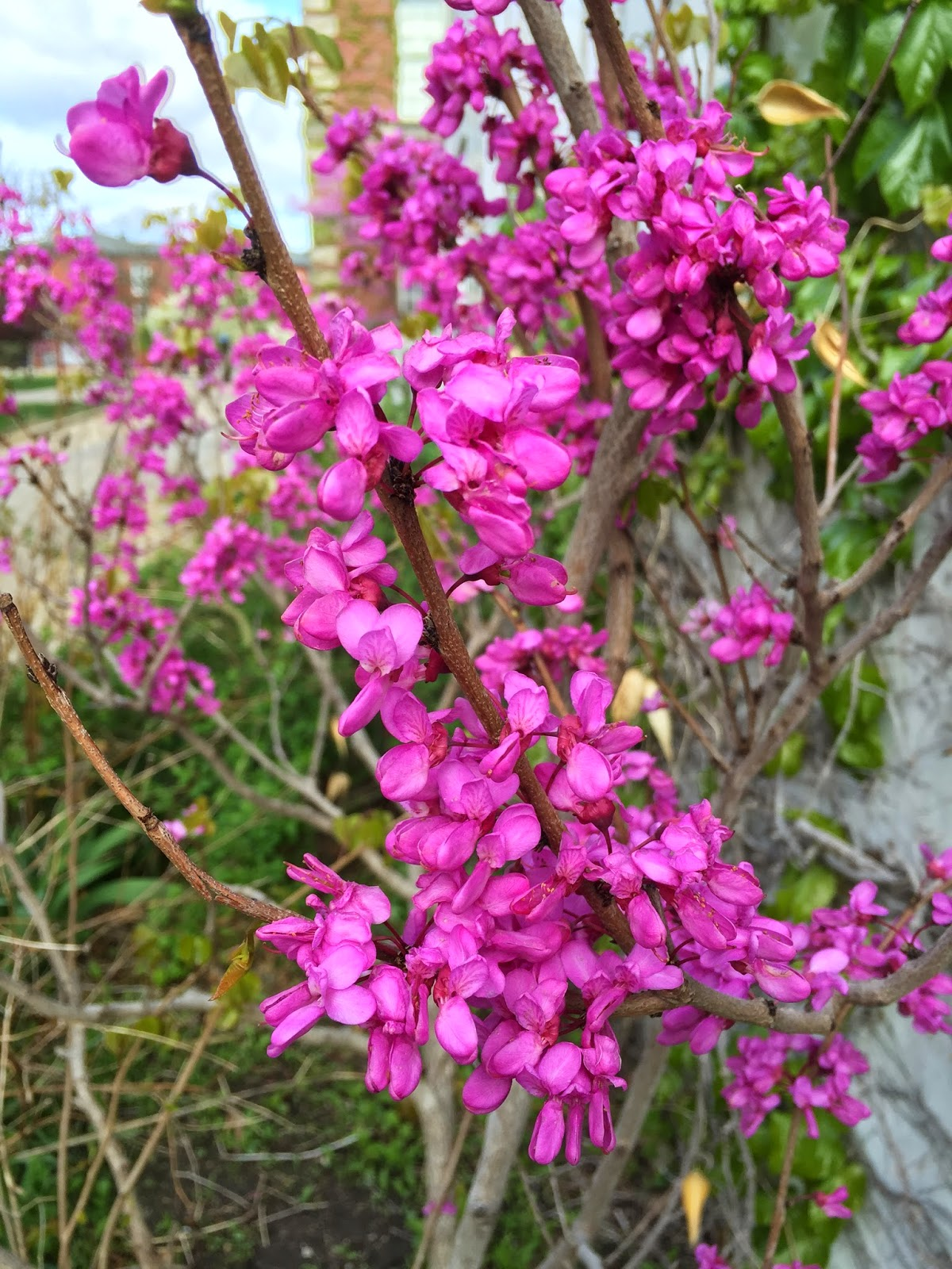 The Phytophactor Friday Fabulous Flower Redbuds