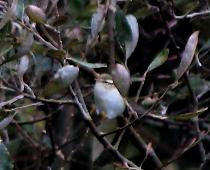 Ultimas especies añadidas a la lista de aves de Villadún-Penarronda durante 2.012 y 2.013: