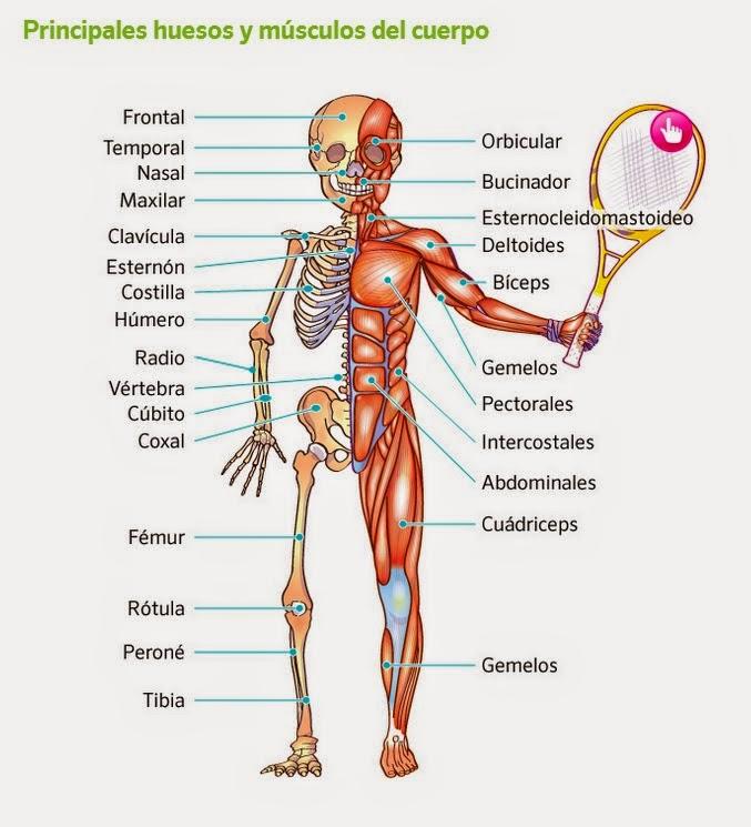 Asombroso Cuerpo Humano Diagrama Músculo Composición - Anatomía de ...
