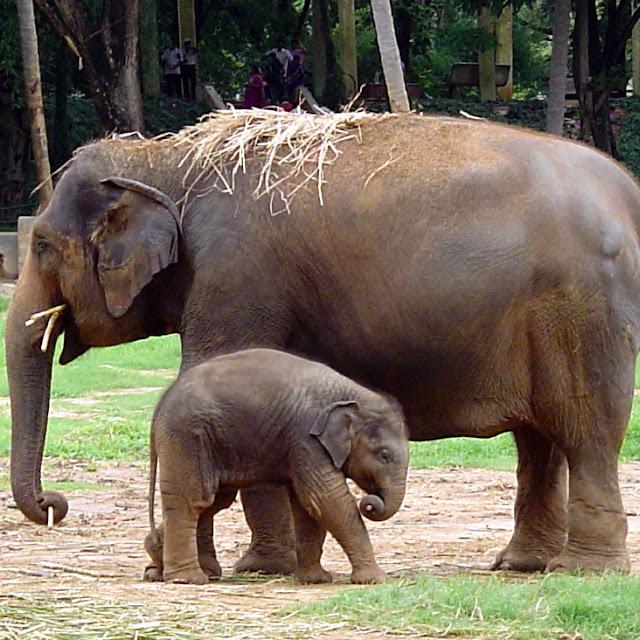 kumpulan gambar gajah