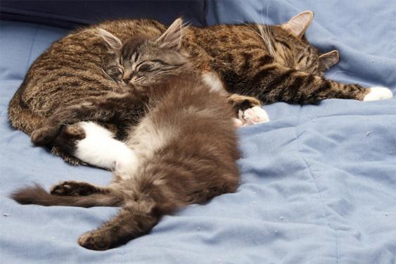 Pieni kissa nukkuu ison kainalossa