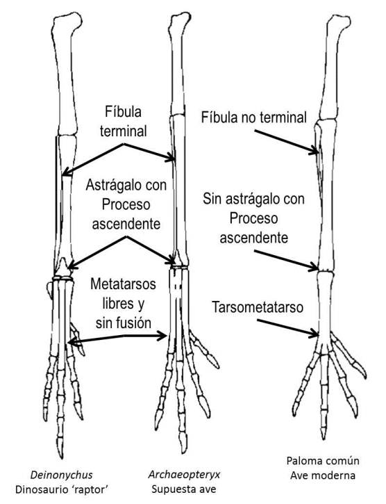 Palaeos, la historia de la Vida en la Tierra: Archaeopteryx, el ave ...