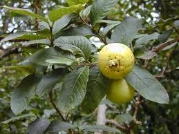 buah tanaman jambu biji