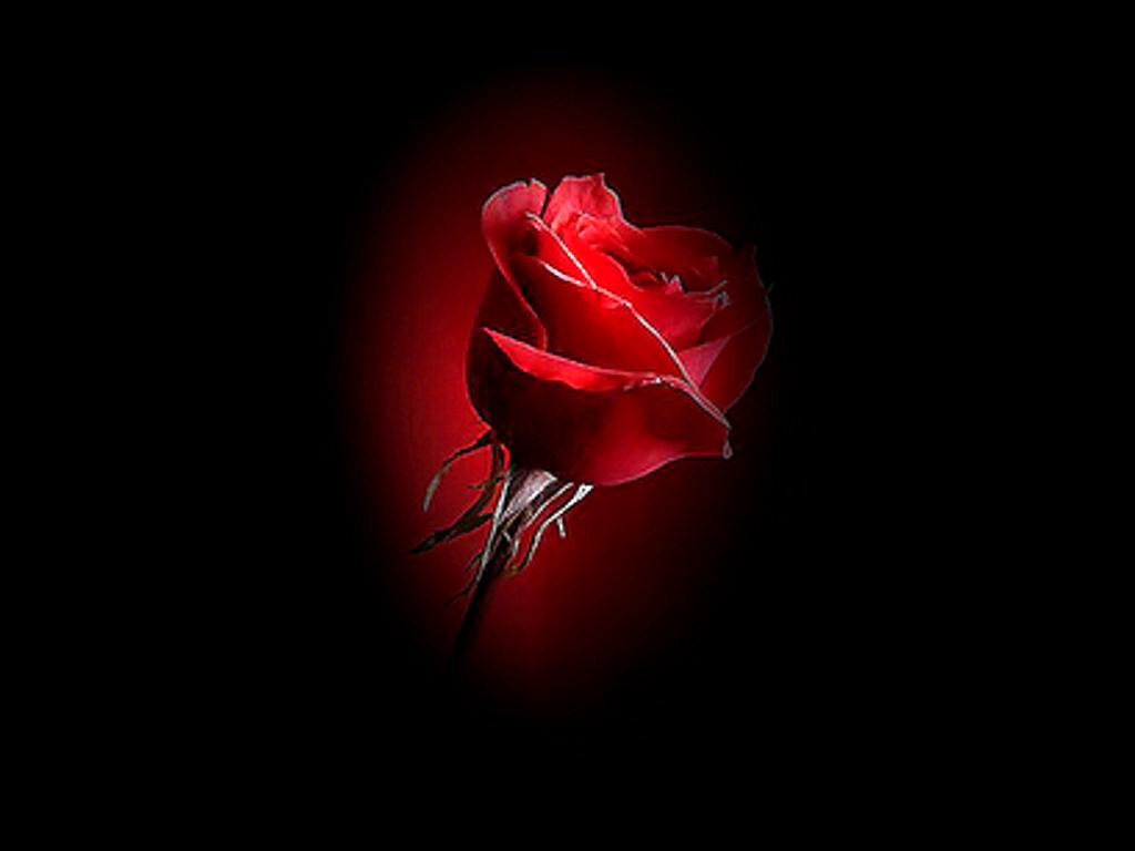 Petalo De Rosa Desprendido De La Tuya Preferida Ni Con La Sombra De Un