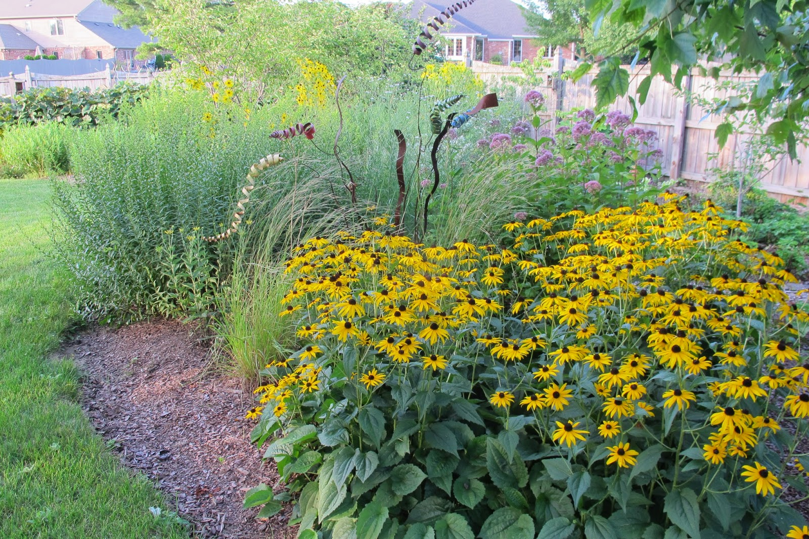 Garden in august in a garden - Black Eyed Susan Rudbeckia Hirta Is In Full Bloom If You Look Just Above Its Flowers You Can See The Purple Mop Heads Of Joe Pye Weed