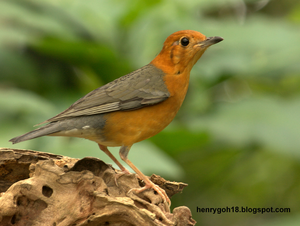 Orange Breasted Sparrow Orange Breasted...