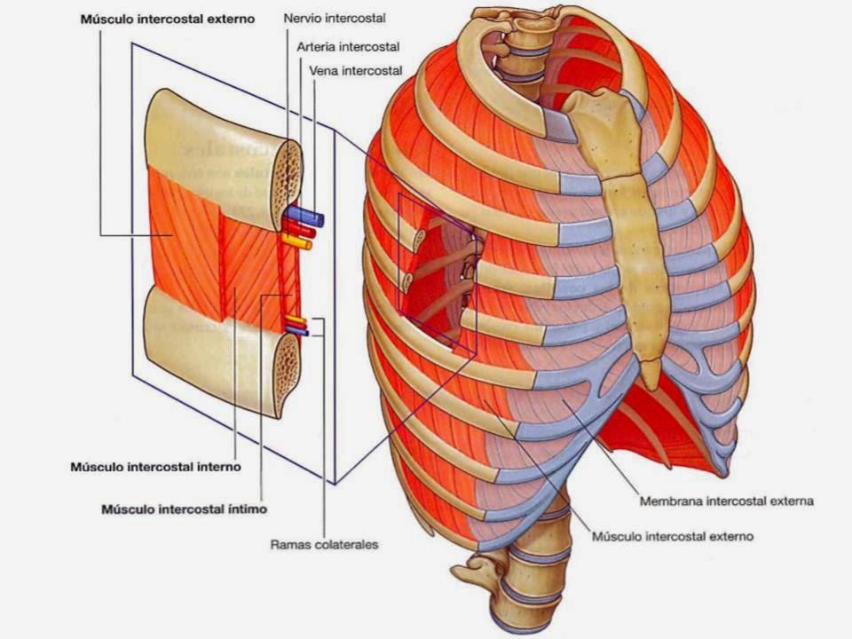 Morfofisiologia1 : TORAX