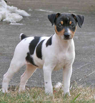 Cute Puppies and Dogs Pictures: Rat Terrier Reviews and ...