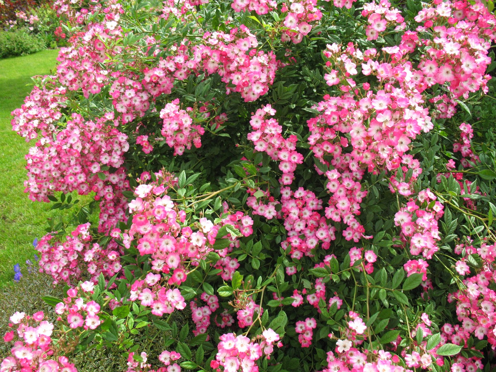 Roses du jardin ch neland encore des roses - Deplacer un rosier ...