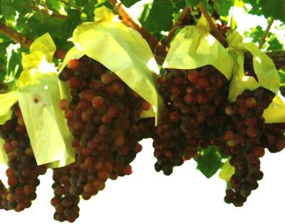 Paso a paso itinerario biodiversidad domesticada variedades de uva de mesa y vino del valle - Variedades de uva de mesa ...