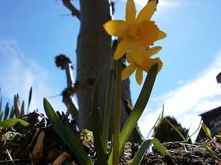 narcissen in de tuin van het chalet
