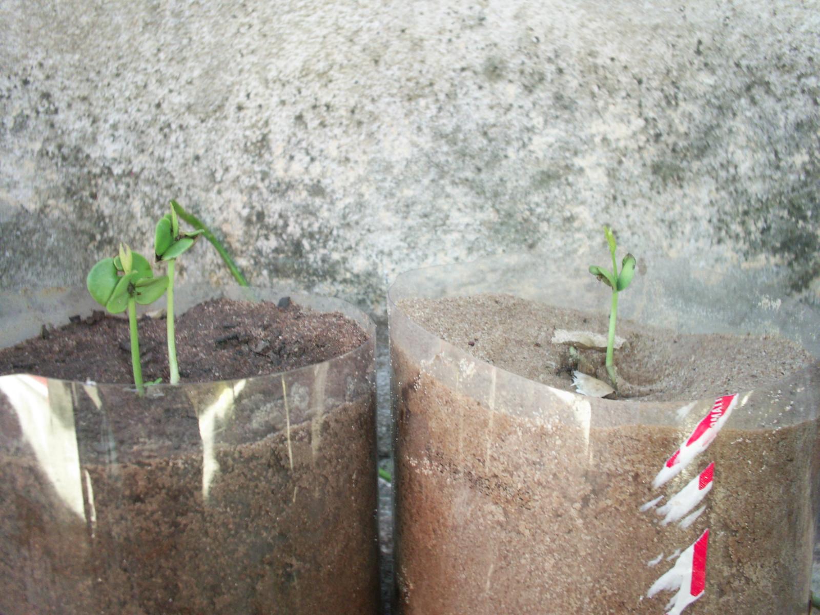 Como Plantar Sementes de Ipês Rosa,Roxo,Amarelo,Etc. 04