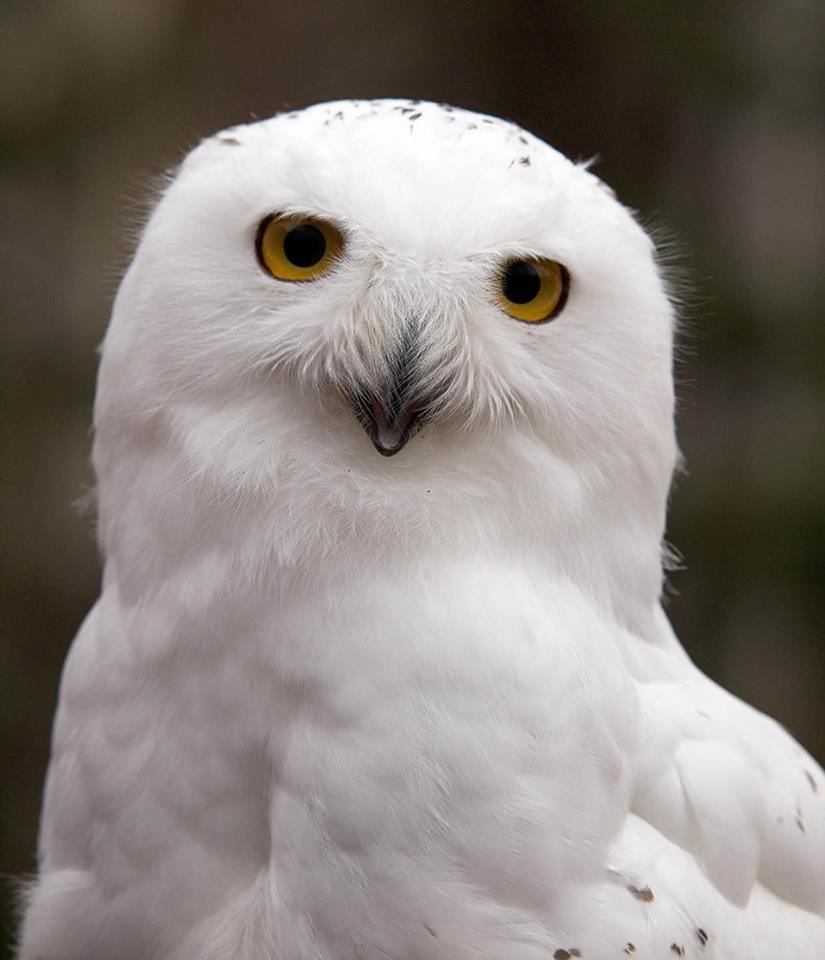 Help Ghost the Snowy Owl build a new home