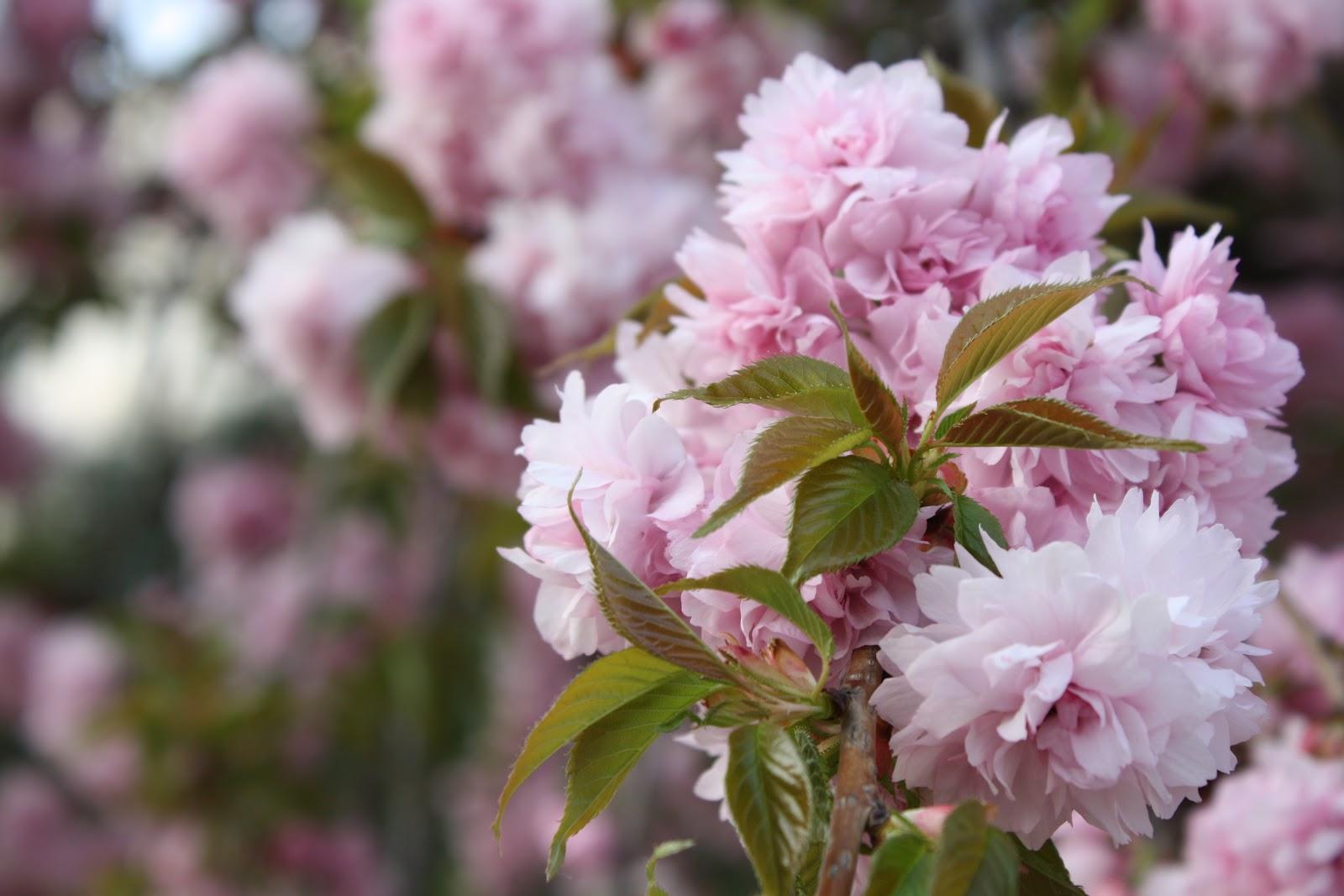 Pink Flowering Trees Garden Wendys Hat