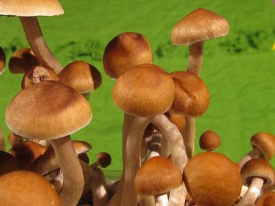 funghi allucinogeni - funghi psilocibe