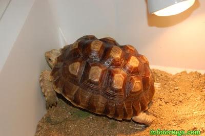 Centrochelys sulcata - Tortuga de espolones