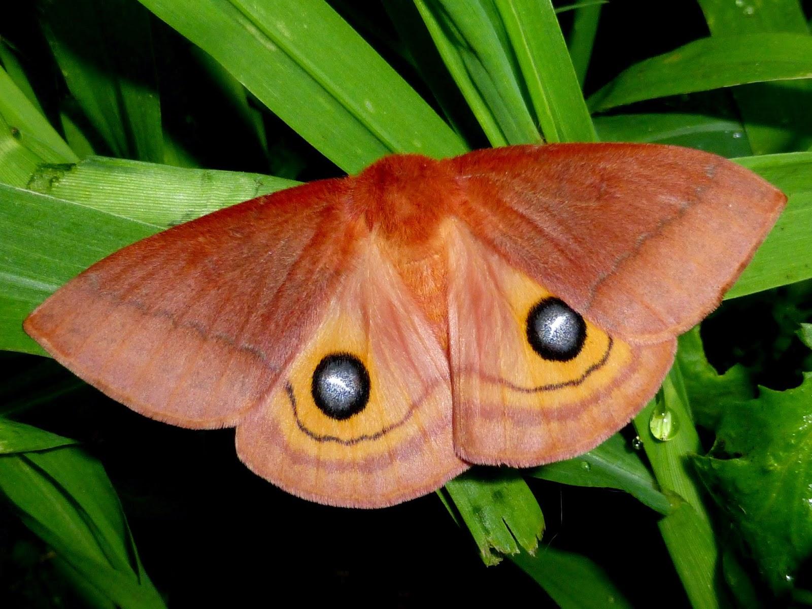 Automeris patagoniensis female