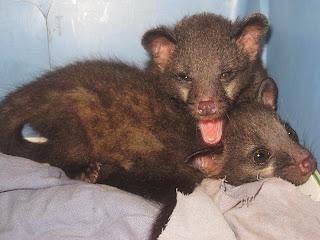Civet kittens Animal Tracks Goa