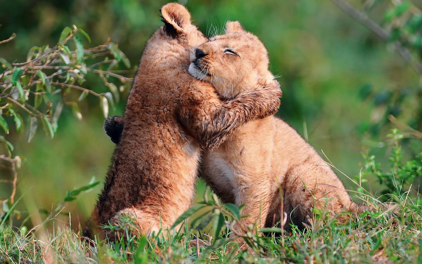 feliz cumpleaños marina!!!!!! Baby-lions-hug-abrazo-de-leones-amor-de-animales-