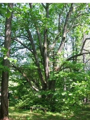 Garden musings from memphis area master gardeners bad for Garden trees memphis
