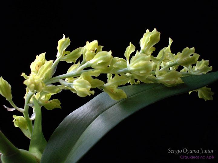 Micro-orquídea Gomesa crispa
