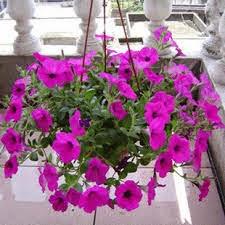 Bunga Petunia Ku Dalam Kenangan