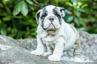 bulldog, puppy, Knoxville, Tennessee, ALM Photo, Lisa Mueller, Allan Mueller, photography