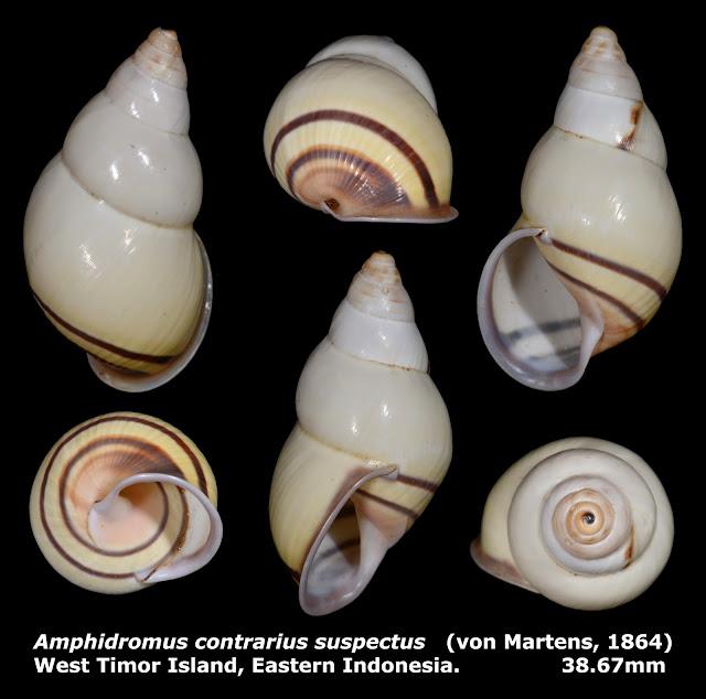 Amphidromus contrarius suspectus 38.67mm