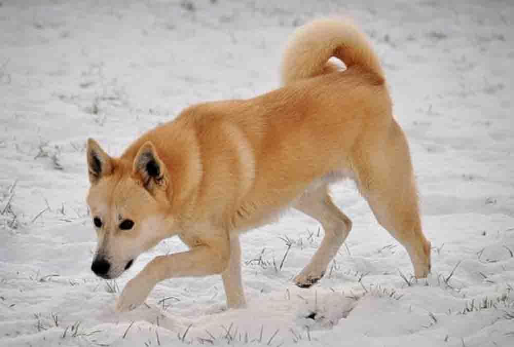 General description of the canaan dog a sturdy dog of medium size
