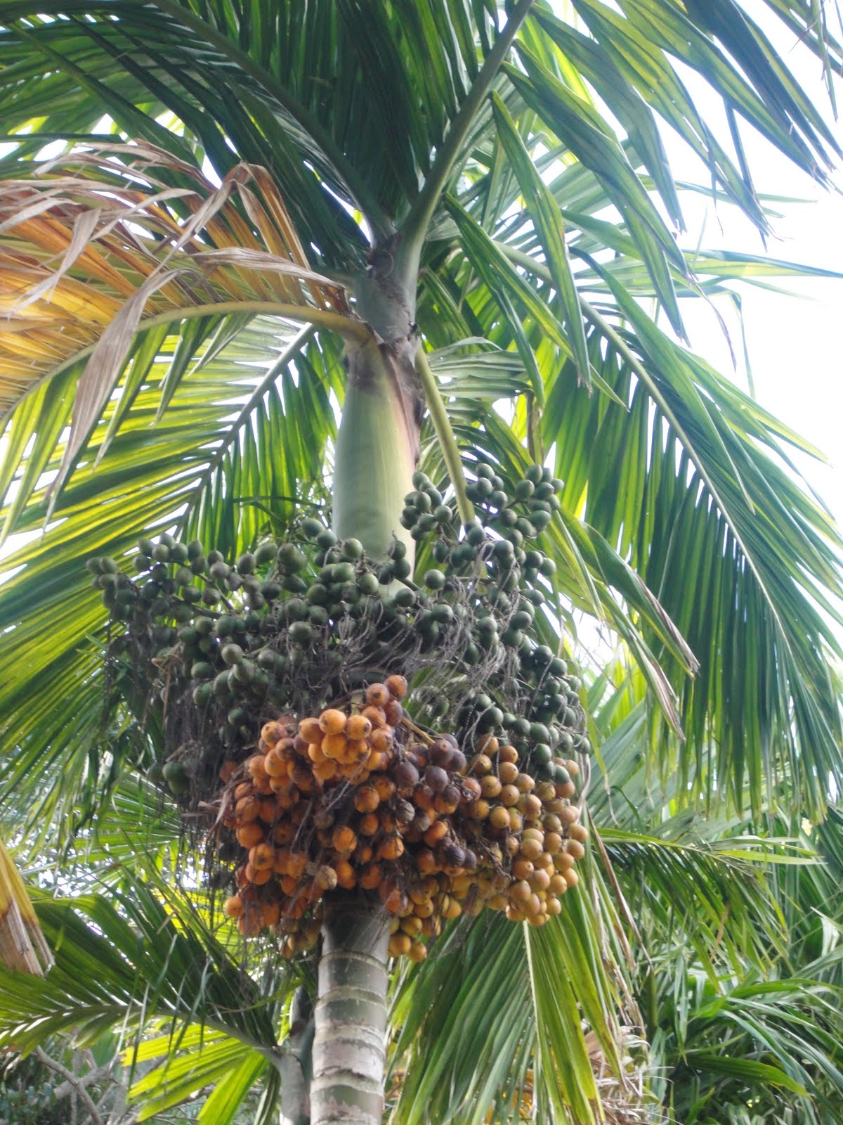 Areca (Betel Nut) Palm Tree | Palm Trees | Pinterest | Fruit trees