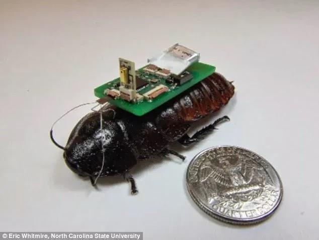 蟑螂變身地震救災利器 cyborg cockroaches